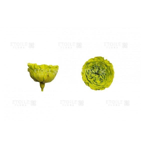 Роза Амелия салатовая