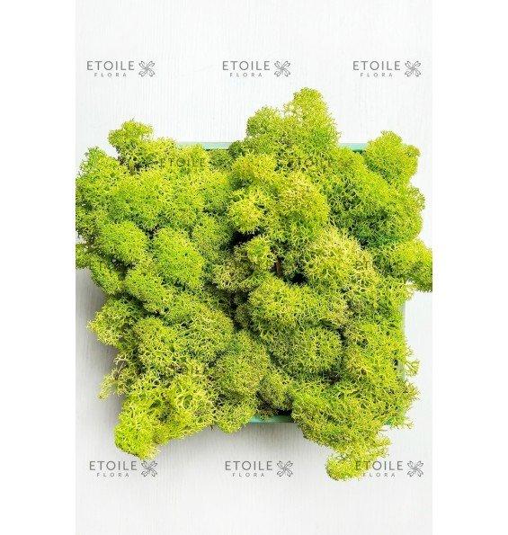 Ягель весенний зеленый