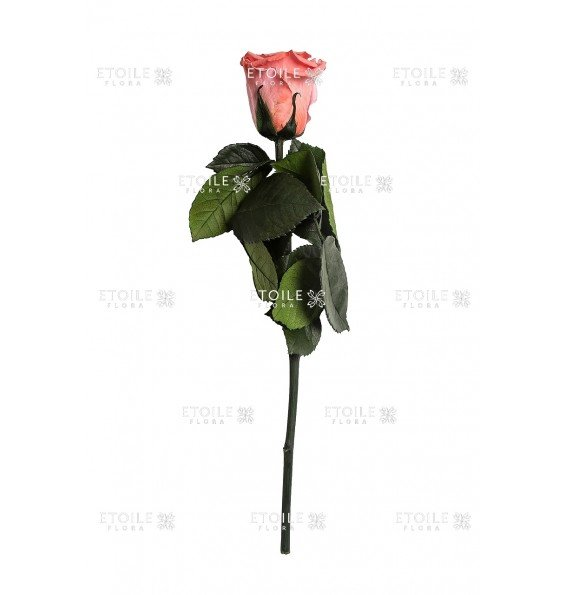 Роза в коробке на стебле коралловая