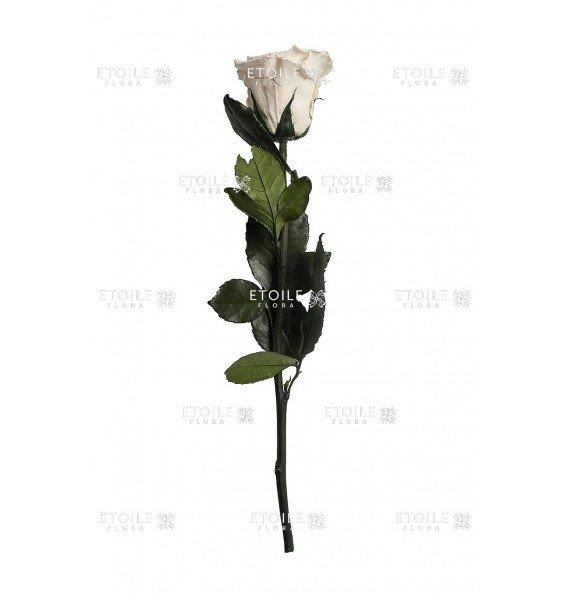 Роза в коробке на стебле кремово-розовая