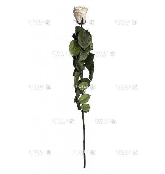 Роза в коробке на стебле кремово-розовый