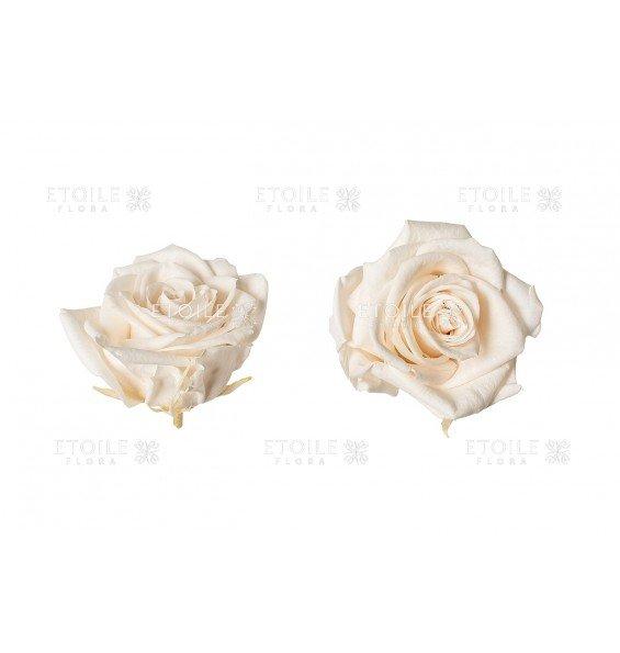 Роза премиум шампань