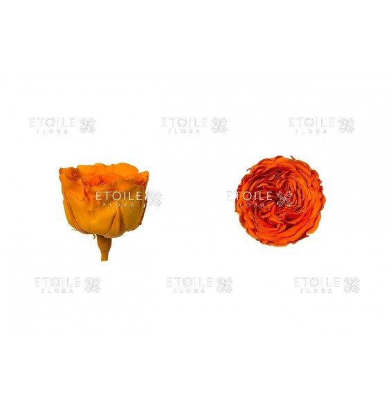 Роза Амелия оранжевая