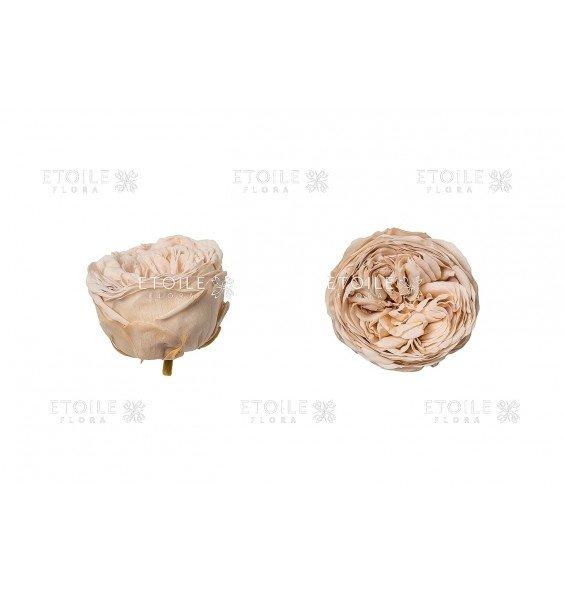 Роза Кабукиза персик