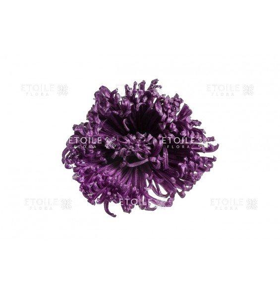 Хризантема пурпур