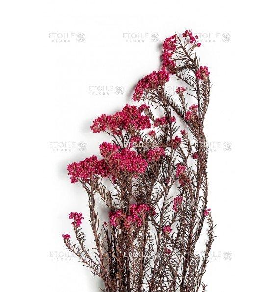 Диосми розовый