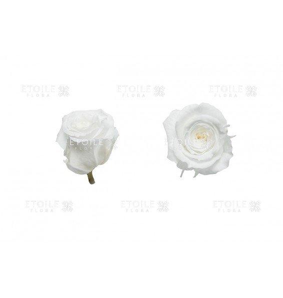 Роза принцесс белая