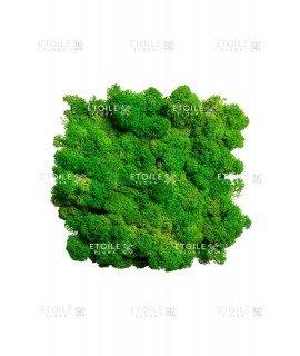Ягель светло-зеленая трава