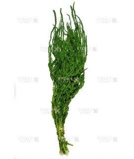 Амарант зеленый цитрон