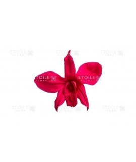 Орхидея Дендробиум малиновая