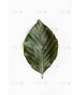 Фагус зеленый