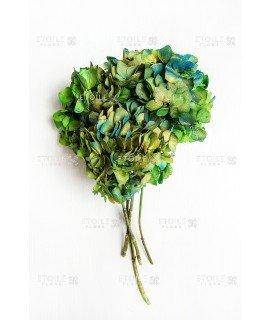Гортензия биколор зеленый-голубой