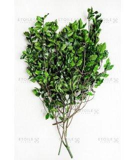 Питтоспорум зеленый