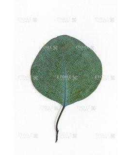 Популус зеленый