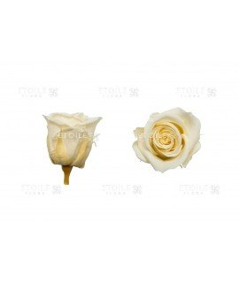 Роза мини шампань