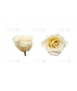 Роза принцесс шампань