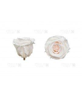 Роза стандарт шампань