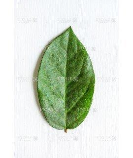 Салал зеленый