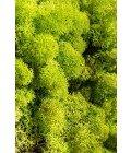 Ягель весенний зеленый - Фото3