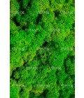 Ягель светло-зеленая трава - Фото3