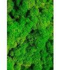 Ягель светло-зеленая трава - Фото2