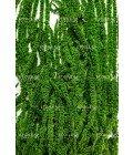 Амарант зеленый цитрон - Фото2