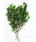 Питтоспорум зеленый - Фото1