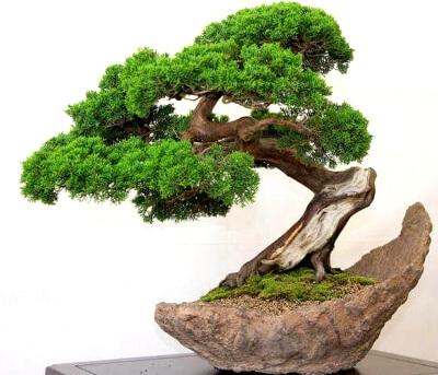 Дерево бонсай: фото