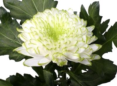 Стабилизированная хризантема: фото