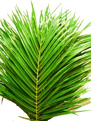 Пальмовый лист - феникс: фото