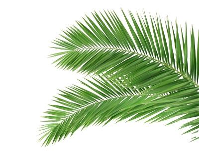 Стабилизированные пальмовые листья: фото
