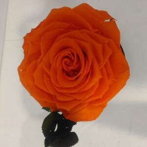 Бутон розы: фото