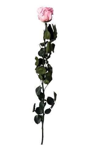 Стабилизированная роза на стебле: фото