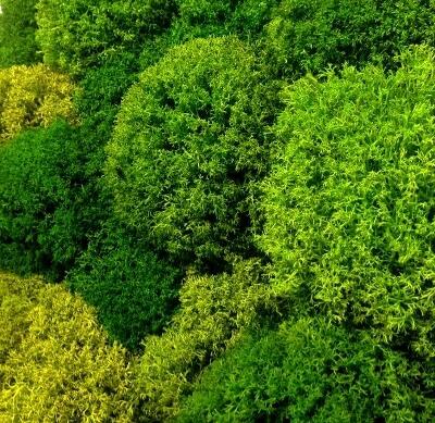 фото декоративный мох