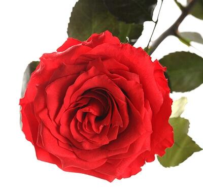 Стабилизированная роза: фото