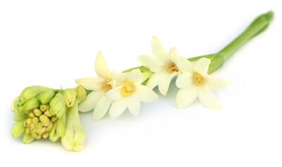Тубероза цветы: фото