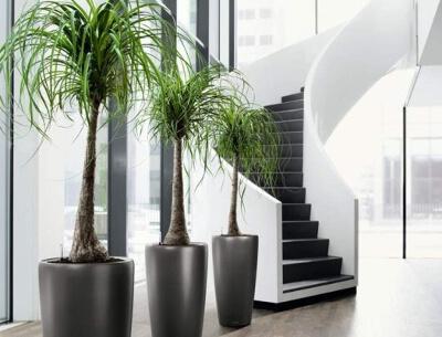 Комнатные деревья: фото