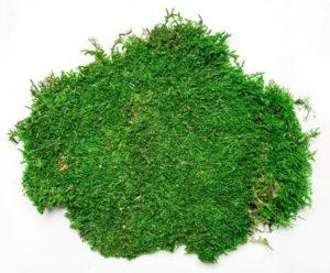 Плоский мох Вердиссимо: фото