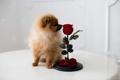 Троянда стабілізована